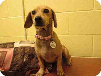 Dachshund Mix Dog for adoption in Waldorf, Maryland - Little Bitts