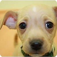 Adopt A Pet :: Salt - Broomfield, CO