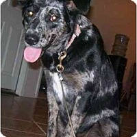 Adopt A Pet :: Trixie - Gilbert, AZ