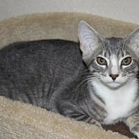 Domestic Shorthair Kitten for adoption in Sarasota, Florida - Candace