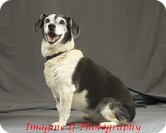 Beagle/Dachshund Mix Dog for adoption in Crescent, Oklahoma - Oreo