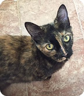 Domestic Shorthair Cat for adoption in Cincinnati, Ohio - Lynda