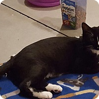Domestic Shorthair Cat for adoption in Rochester, Minnesota - Tuxee