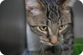 Domestic Shorthair Cat for adoption in South Haven, Michigan - Sam