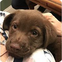 Adopt A Pet :: Nestle - Spring, TX