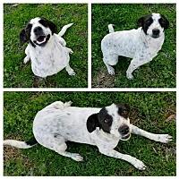 Adopt A Pet :: Oreo female terrier - Decatur, AL