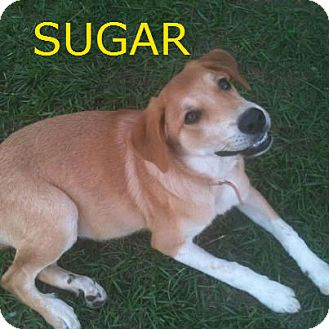 Labrador Retriever Mix Puppy for adoption in Glastonbury, Connecticut - Sugar