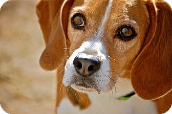 Beagle Mix Dog for adoption in Meridian, Idaho - Sadie