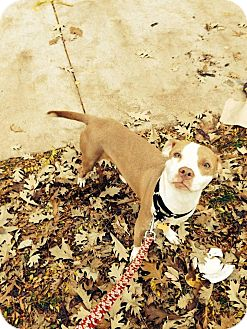 Pit Bull Terrier/Jack Russell Terrier Mix Dog for adoption in Villa Park, Illinois - Brynn