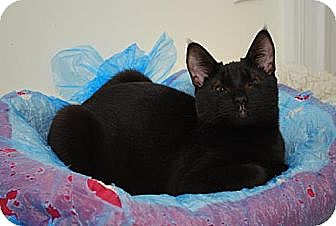 Domestic Shorthair Cat for adoption in Trevose, Pennsylvania - Lei