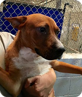 Boxer/German Shepherd Dog Mix Dog for adoption in El Centro, California - Leo