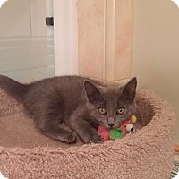 Adopt A Pet :: PPBAWC kitten Gray Female - Manasquan, NJ