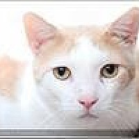 Domestic Shorthair Cat for adoption in Freeport, New York - Fidget
