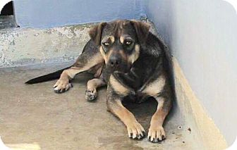 German Shepherd Dog/Rottweiler Mix Dog for adoption in Staunton, Virginia - Momma