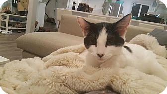 Domestic Shorthair Kitten for adoption in Alamo, California - Domino