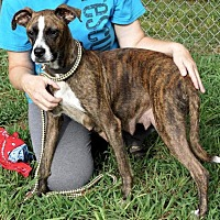 Boxer/Pit Bull Terrier Mix Dog for adoption in Jasper, Georgia - Eliza