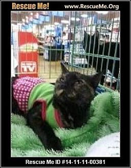 Domestic Shorthair Cat for adoption in Beaumont, Texas - Teenie