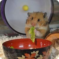 Adopt A Pet :: Elfie - Brooklyn, NY
