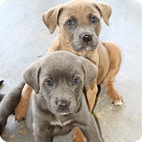 Adopt A Pet :: Puppies - Atmore, AL
