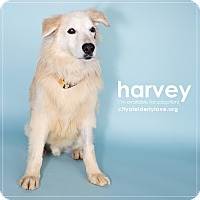 Adopt A Pet :: HARVEY! - Philadelphia, PA