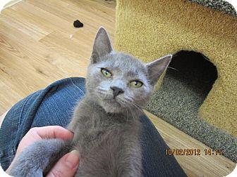 Hemingway/Polydactyl Kitten for adoption in Bunnell, Florida - Hemi