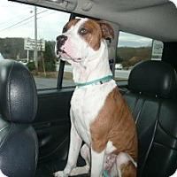 Adopt A Pet :: Barron - Greenville, SC