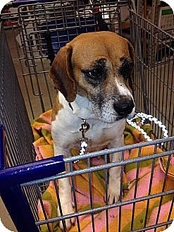 Beagle Mix Dog for adoption in Transfer, Pennsylvania - Cranberry