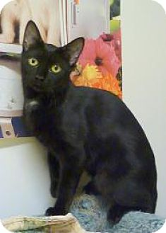 Domestic Shorthair Cat for adoption in Westville, Indiana - Victoria