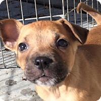 Adopt A Pet :: Ringo Starr - Woodland, CA