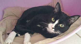 Domestic Shorthair Cat for adoption in Middletown, New York - Star