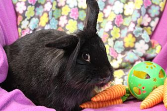 Lionhead Mix for adoption in Erie, Pennsylvania - Annie