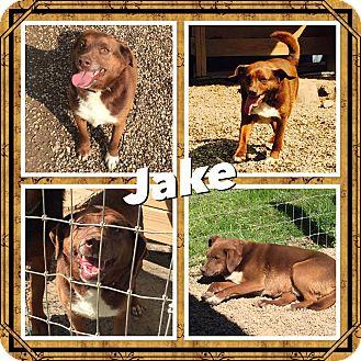Labrador Retriever/Beagle Mix Dog for adoption in Woodsfield, Ohio - Jake