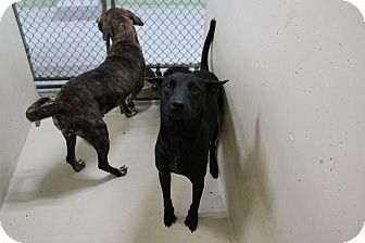 Pit Bull Terrier Mix Dog for adoption in Odessa, Texas - A32 Phoebe