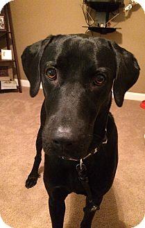 Labrador Retriever Mix Dog for adoption in Brattleboro, Vermont - Anikan