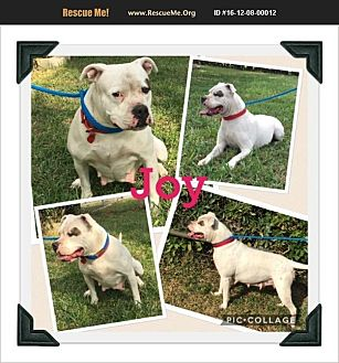 American Bulldog Dog for adoption in Homestead, Florida - joy