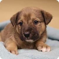 Adopt A Pet :: Ignacio - Little Rock, AR