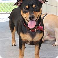 Adopt A Pet :: Billy - Saddle Brook, NJ