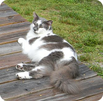 Domestic Longhair Cat for adoption in Naples, Florida - Cashmere