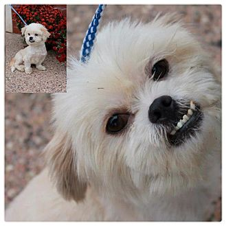 Shih Tzu/Pekingese Mix Dog for adoption in Garden City, Michigan - Rupert