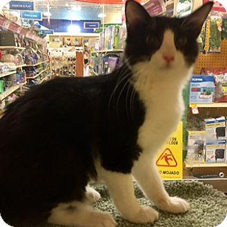 Domestic Mediumhair Kitten for adoption in Houston, Texas - Lexus