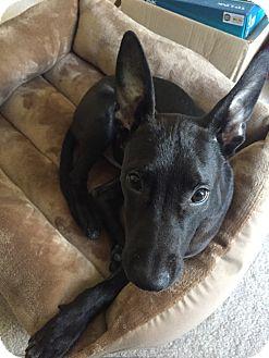 Shepherd (Unknown Type)/German Shepherd Dog Mix Puppy for adoption in Avon, Ohio - Kluber