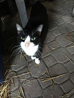 Domestic Shorthair Cat for adoption in Lauderhill, Florida - Milo