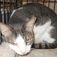 Adopt A Pet :: Gulliver - San Antonio, TX