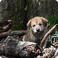 Adopt A Pet :: Java - Groton, MA