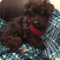 Adopt A Pet :: Lil Scruffy - Washington, DC