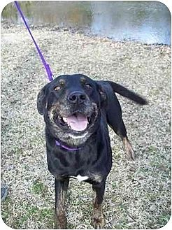 Rottweiler/Labrador Retriever Mix Dog for adoption in Kaufman, Texas - Beauty