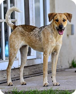 Labrador Retriever Mix Puppy for adoption in hollywood, Florida - Nenya