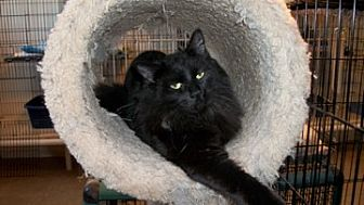 Domestic Longhair Cat for adoption in Lacon, Illinois - Ronnie