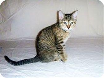Domestic Mediumhair Kitten for adoption in Nashville, Tennessee - Aspen