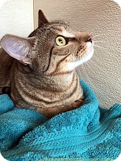 Domestic Shorthair Cat for adoption in Las Vegas, Nevada - Be-Be
